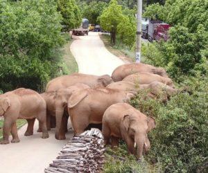 Wild elephant migration wins China's hearts